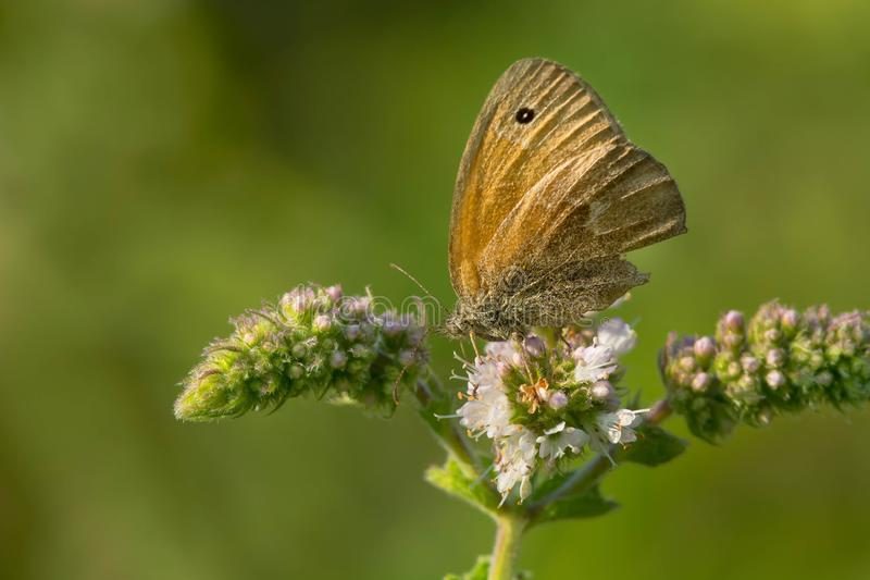 Download Common Ringlet Butterfly stock photo. Image of canada - 103659958