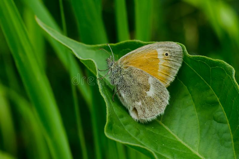 Download Common Ringlet Butterfly stock image. Image of environmental - 103659977
