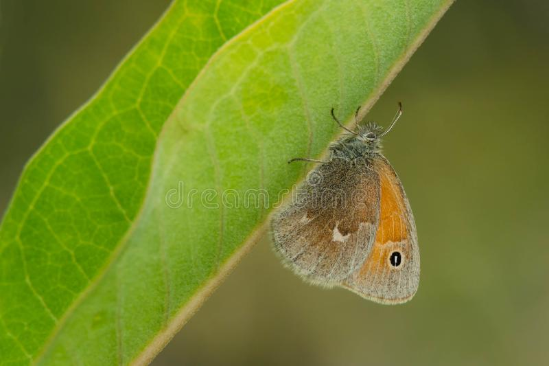 Download Common Ringlet Butterfly stock image. Image of park - 103659955