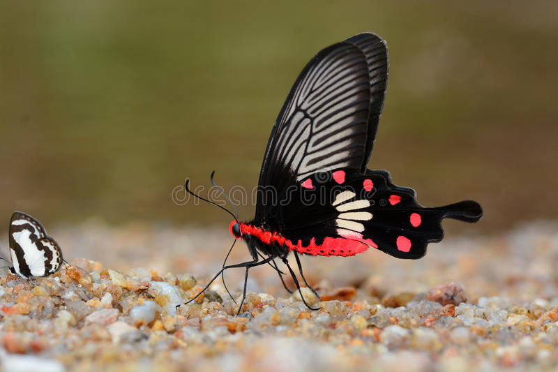 Common Rose Butterfly stock images