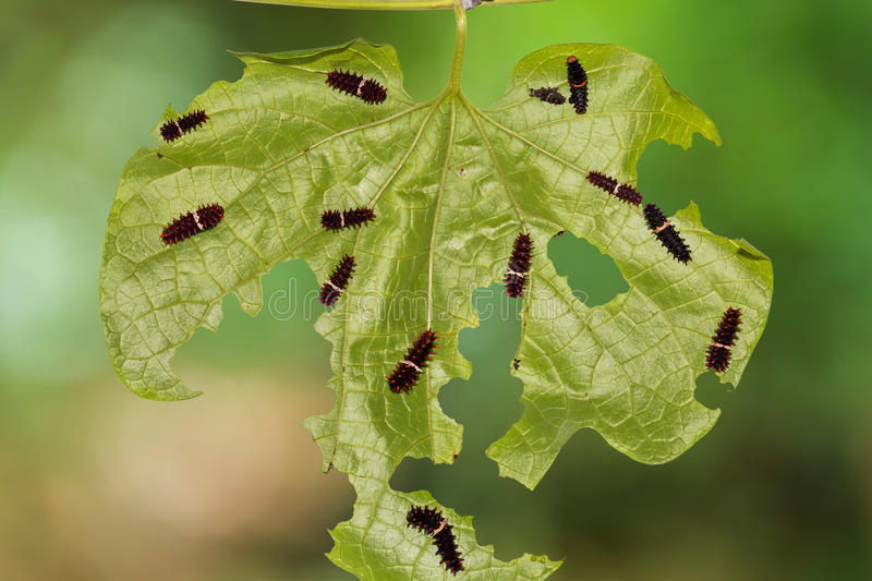 Common Rose caterpillars. Close up of Common Rose (Pachliopta aristolochiae) caterpillars on their host plant leaf in nature stock photography