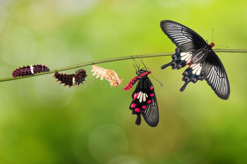 Common Rose Pachliopta aristolochiae butterfly life cycle. From caterpillar to pupa and its adult form, isolated on nature background with clipping path royalty free stock images