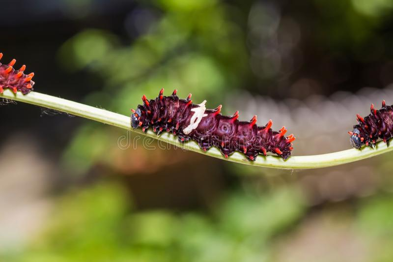 Common Rose Pachliopta aristolochiae caterpillars. Close up of Common Rose Pachliopta aristolochiae caterpillars on their host plant stem in nature stock images