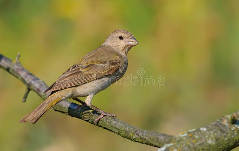 Common rosefinch sits on smal twig in the morning light stock photo