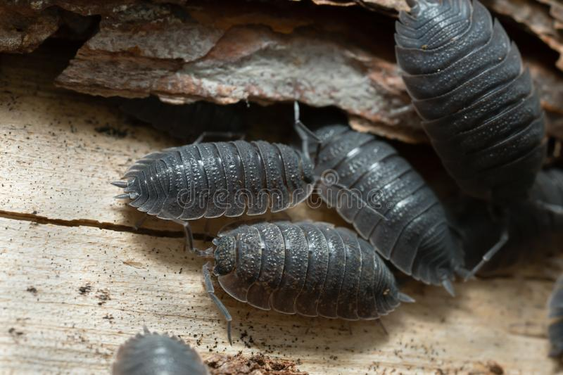 Common rough woodlouses, Porcellio scaber on wood. Closeup of common rough woodlouses, Porcellio scaber on wood royalty free stock images