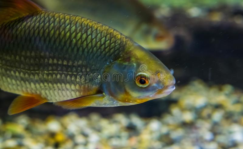 Common Rudd with its face in closeup, well spread fish through out the waters of Eurasia. A Common Rudd with its face in closeup, well spread fish through out royalty free stock photography