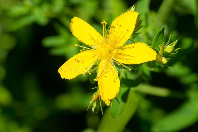Common Saint John`s Wort - Hypericum perforatum. Close up of a yellow Common Saint John's Wort flower. Also known as Perforate St. John's-wort. Taylor stock photo