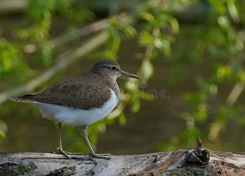 Common Sandpiper Actitis hypoleucos. The Common Sandpiper Actitis hypoleucos is a small Palearctic wader. This bird and its American sister species, the Spotted royalty free stock photo