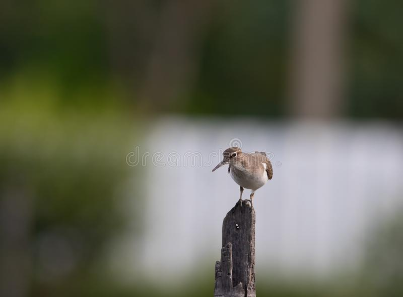 Common sandpiper on post. The common sandpiper is a small Palearctic wader. This bird and its American sister species, the spotted sandpiper, make up the genus stock photos
