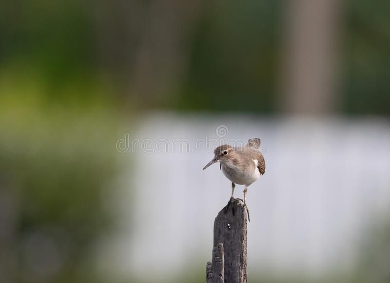 Common sandpiper on post. The common sandpiper is a small Palearctic wader. This bird and its American sister species, the spotted sandpiper, make up the genus stock image