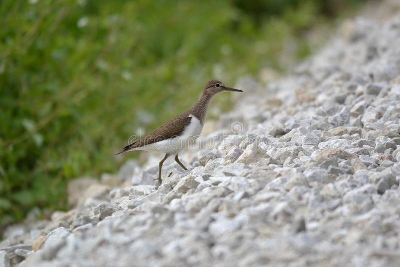 Common Sandpiper is restless because the sons are near. royalty free stock photos