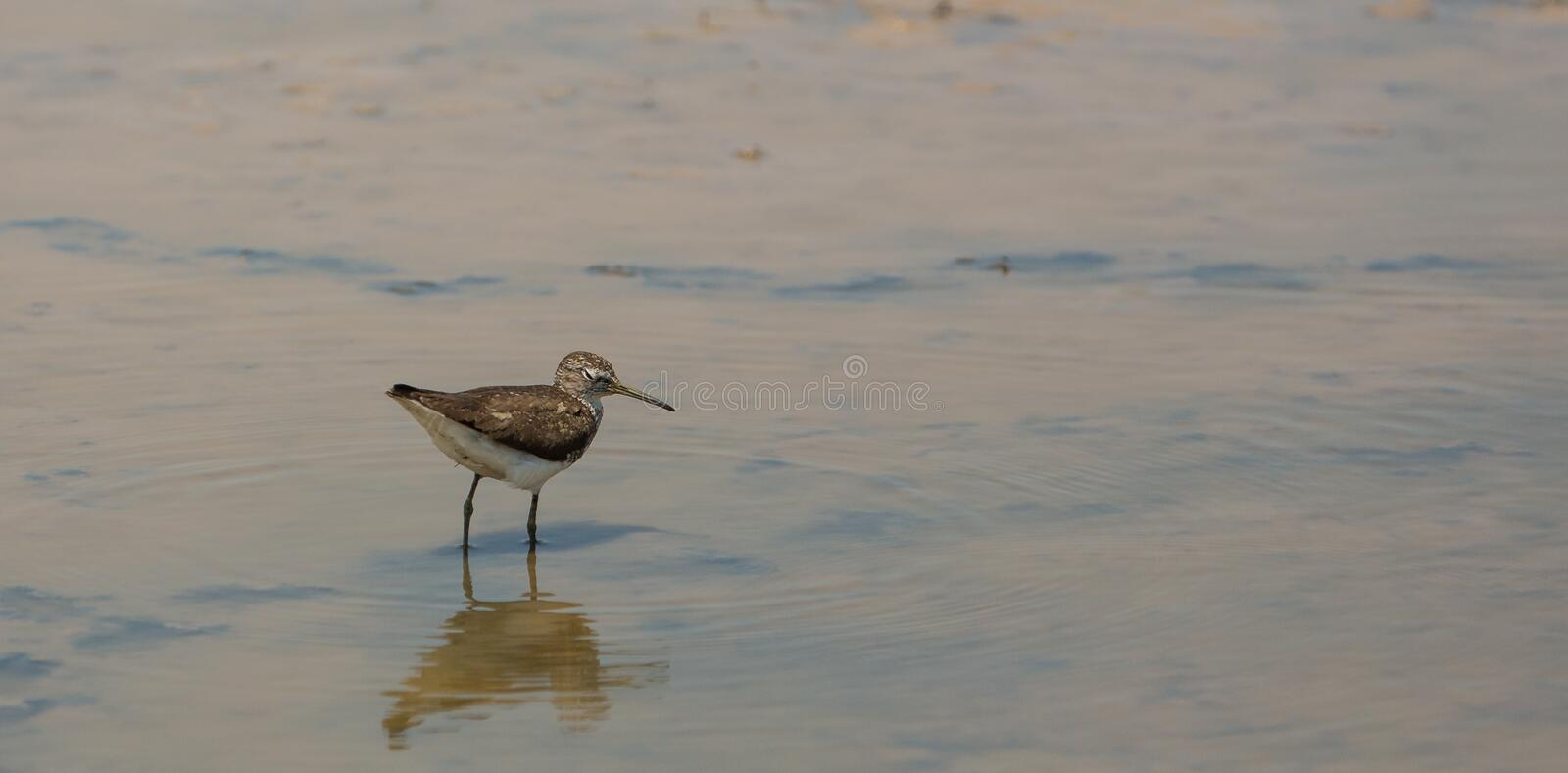 Common Sandpiper in shallow waters. A Common Sandpiper (Actitis hypoleucos) walks slowly in the shallow water of a lagoon which soon will dry up under the hot royalty free stock image