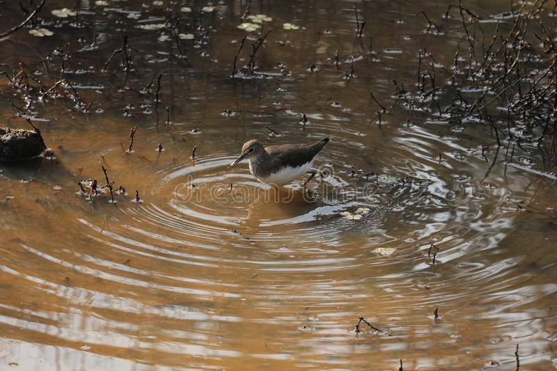 Common Sandpiper. The common sandpiper is a small Palearctic wader. This bird and its American sister species, the spotted sandpiper, make up the genus Actitis stock photos
