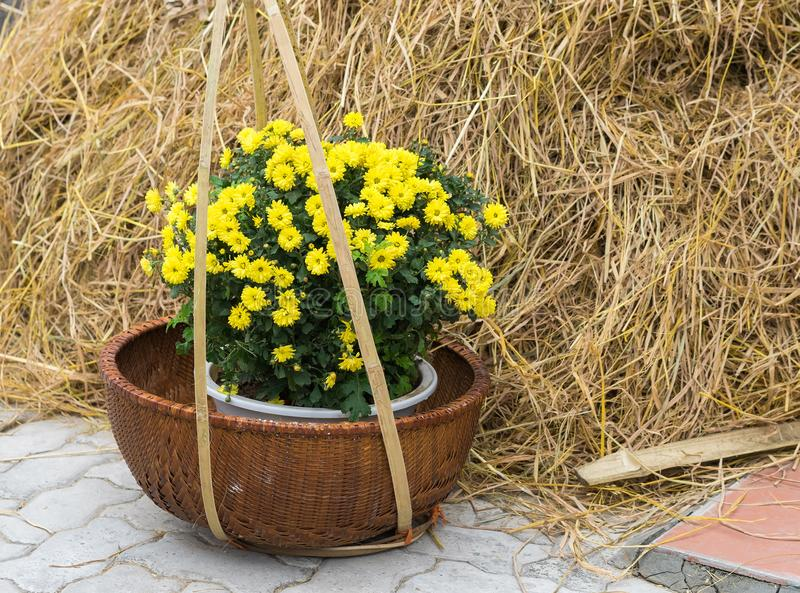 Common scenery in Vietnam rural countryside with baskets of yellow daisy flowers, tropical rice straw stock image
