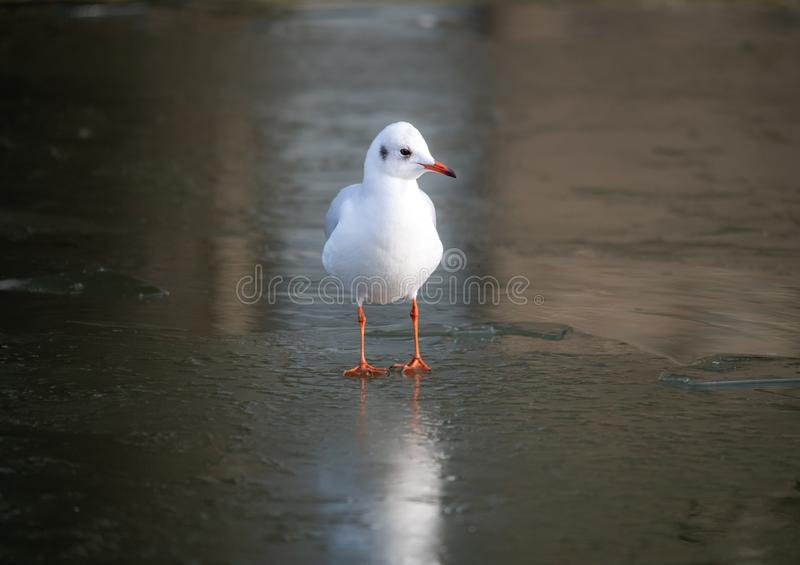 A common Sea Gull standing on a frozen river, Cambridge, UK royalty free stock photography