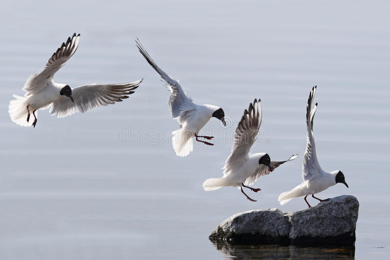 Common seagull in flight royalty free stock photos