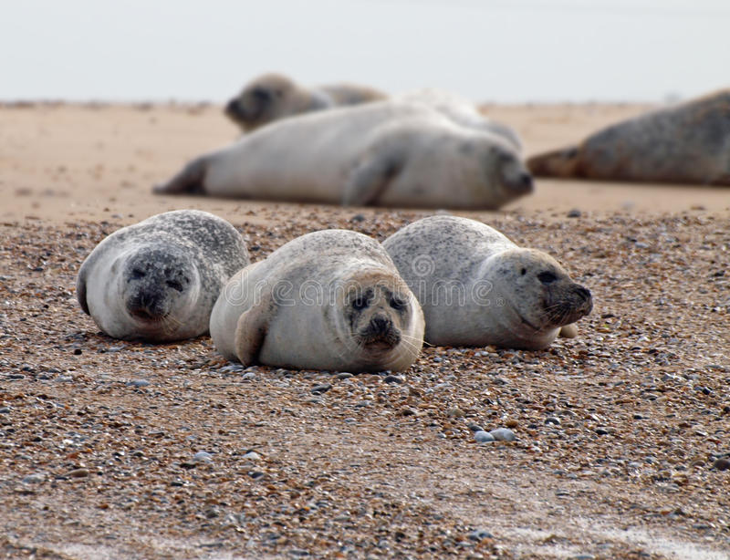 Common Seal stock image