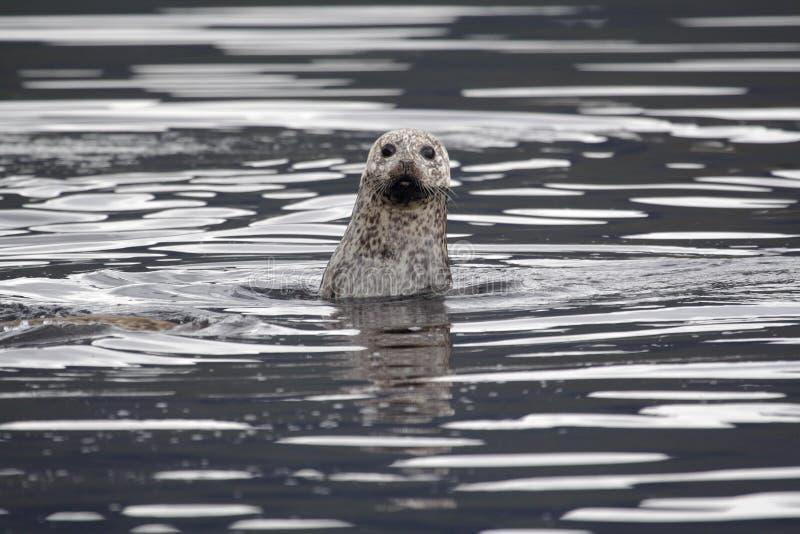 Common Seal stock photos