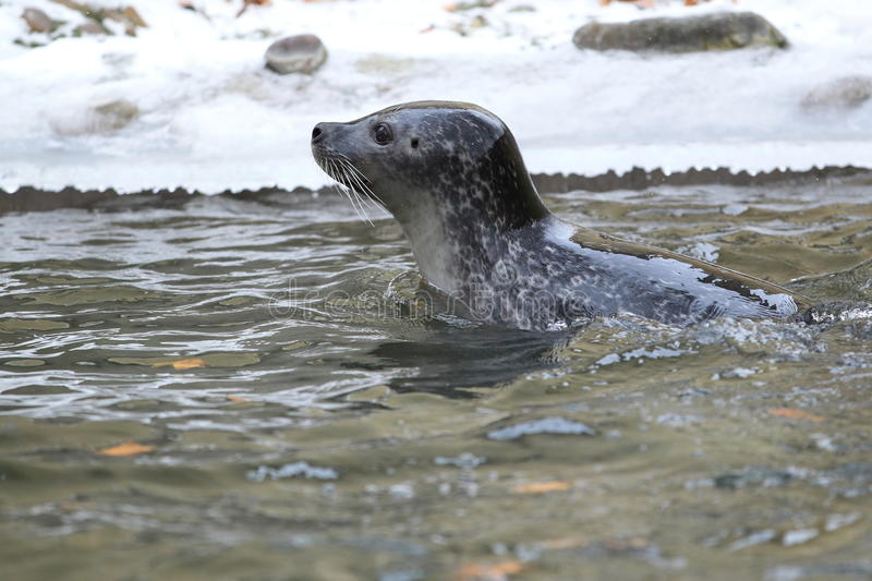 Download Common seal stock photo. Image of mammal, carnivore, surface - 28880260