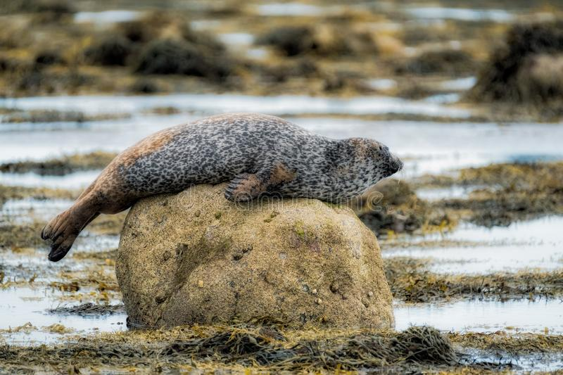 Common seal lounging on a rock. Along a rocky coast royalty free stock images