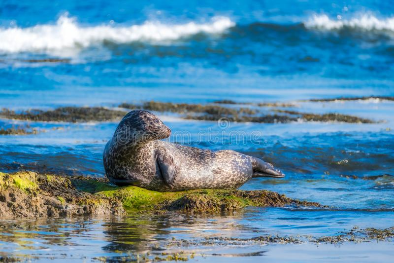 Common seal lounging on a rock. With a breaking wave in the background royalty free stock photo