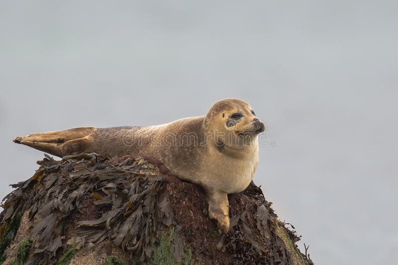 Common Seal resting on a rock stock photography