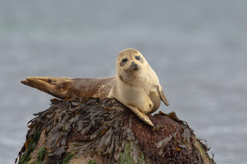 Common Seal resting on a rock stock image