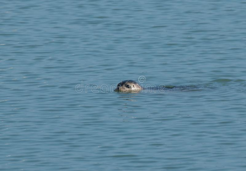 Common Seal Swimming in Harbour royalty free stock photography