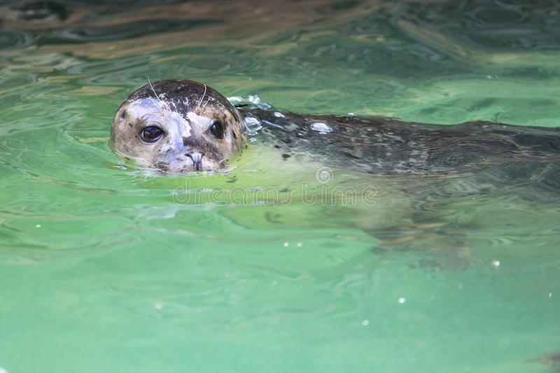 Download Common seal stock image. Image of phoca, common, harbor - 31501091