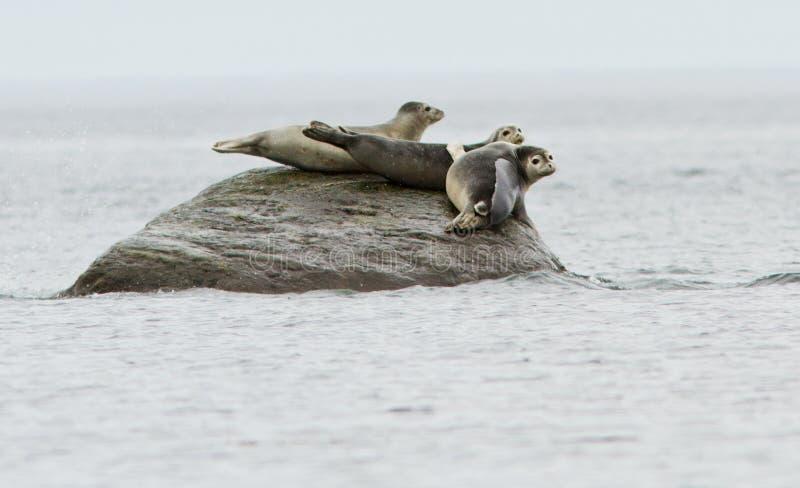 Download Common seals stock photo. Image of enjoys, enjoy, rest - 26781872