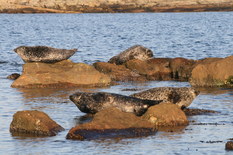 Download Common Seals stock photo. Image of cute, clear, male, nature - 7088808