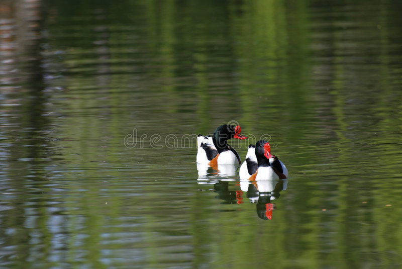 Common Shelduck royalty free stock photography