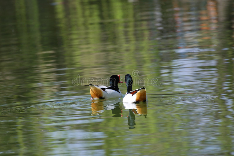 Common Shelduck stock photos