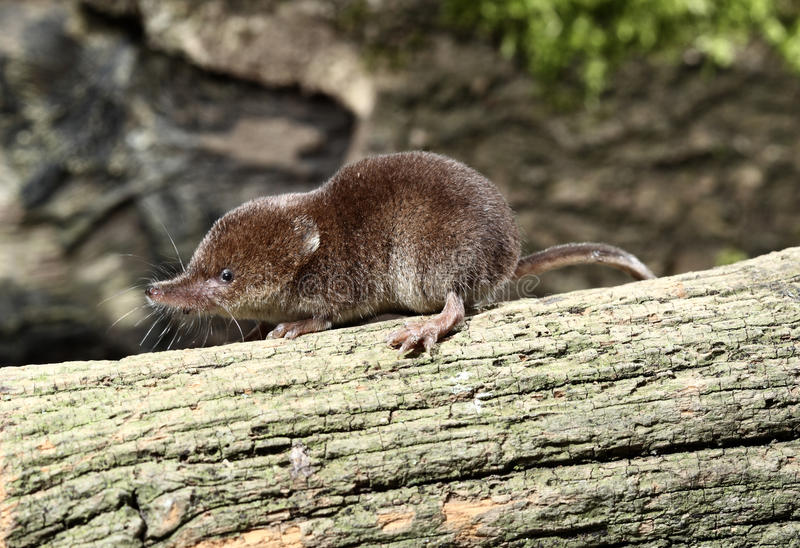 Download Common Shrew, Sorex Araneus Stock Image - Image: 31916723