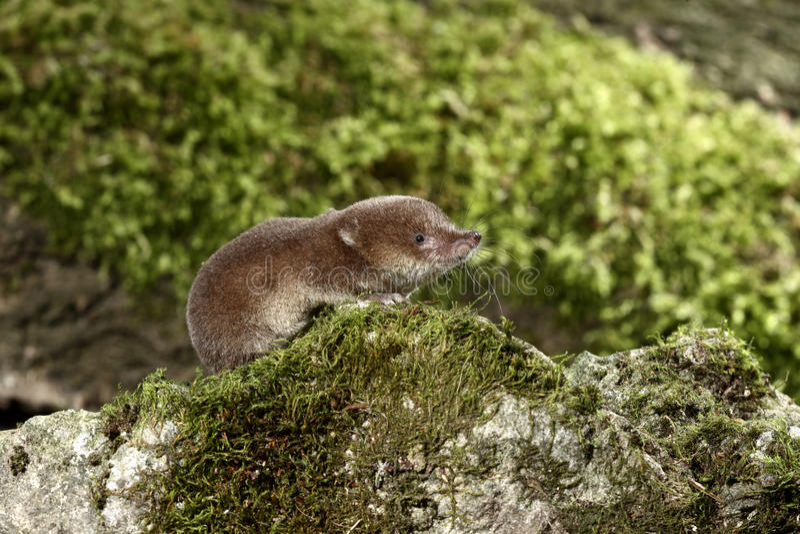 Download Common Shrew, Sorex Araneus Stock Image - Image: 31916741