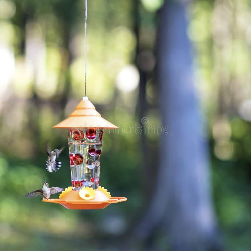 Female Ruby-throated hummingbirds at backyard feeder. stock image
