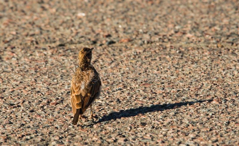 Birds. The common skylark; bird on tarmac royalty free stock image