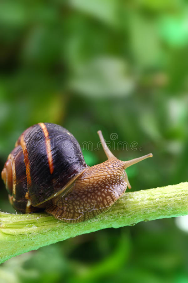Common snail crawling on plant stock photo