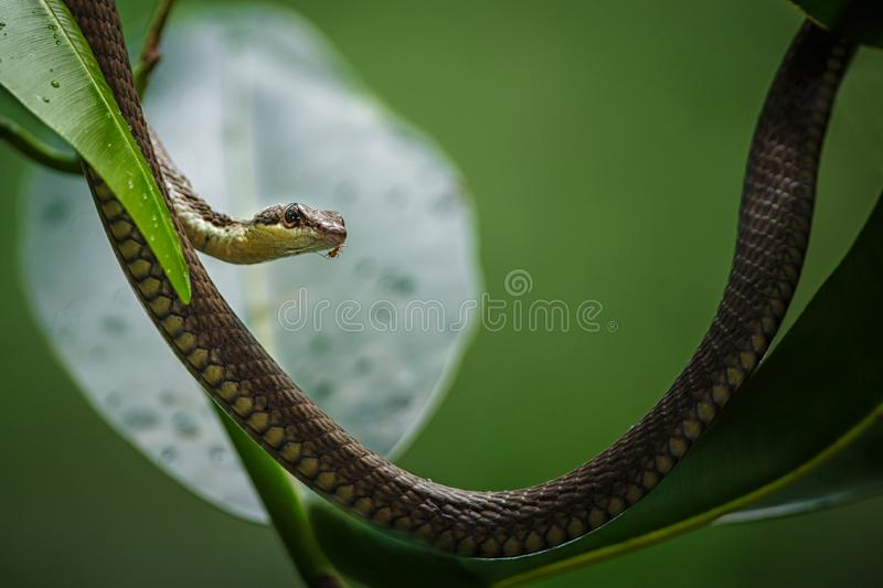 The common snake on the tree in Tangkoko National Park, Sulawesi, exotic adventure trip in Southeast Asia. The common snake on the tree in Tangkoko National Park stock images