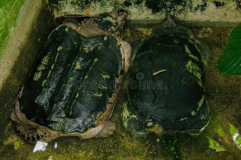 Common Snapping Turtle Chelydra serpentina is the largest freshwater turtle in the world. royalty free stock photography