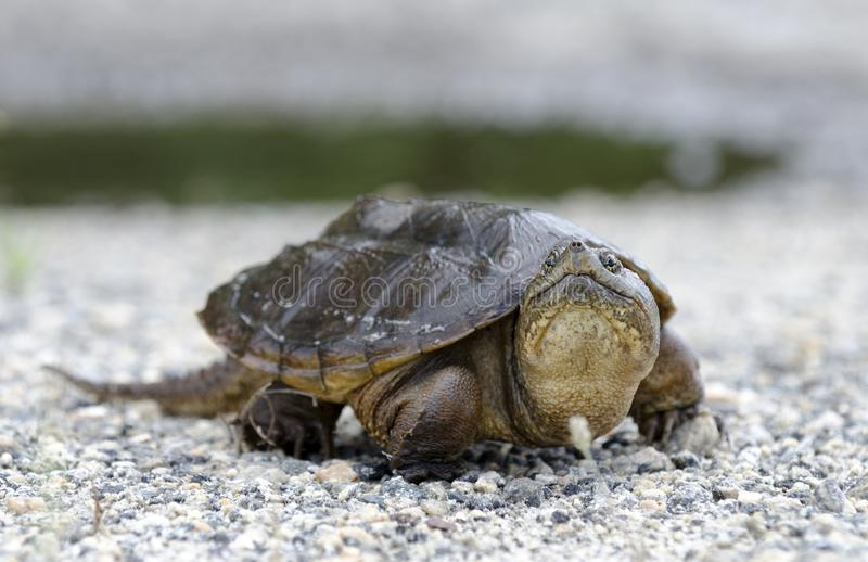 Common Snapping Turtle, Georgia USA. Common Snapping Turtle, Chelydra serpentina. May in Walton County, GA. nnThe common snapping turtle is noted for its stock photos