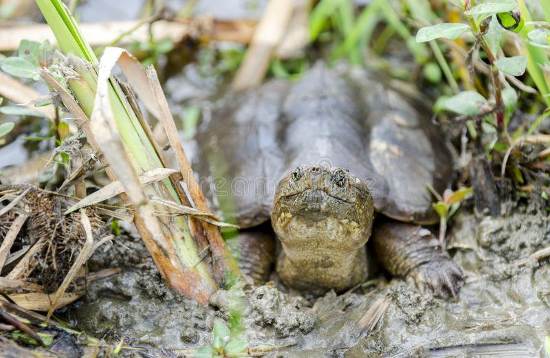 Common Snapping Turtle, Georgia USA. Common Snapping Turtle, Chelydra serpentina. May in Walton County, GA. nnThe common snapping turtle is noted for its royalty free stock photography