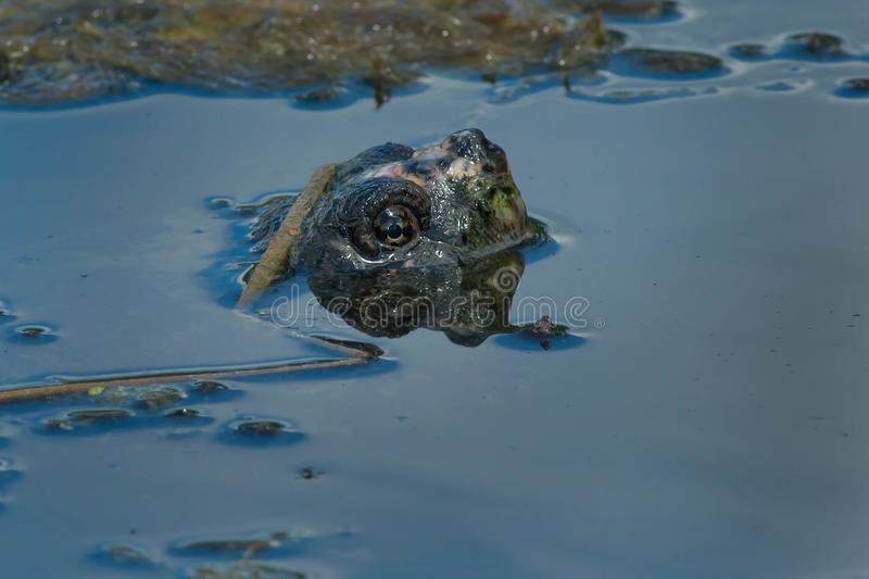 Download Common Snapping Turtle stock image. Image of chelydra - 113287003
