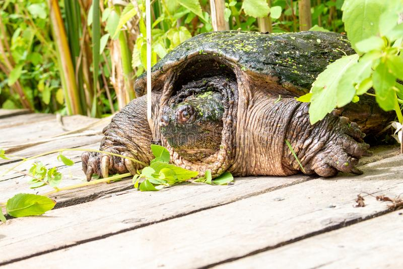 A turtle waiting to snap, or be left alone royalty free stock photography