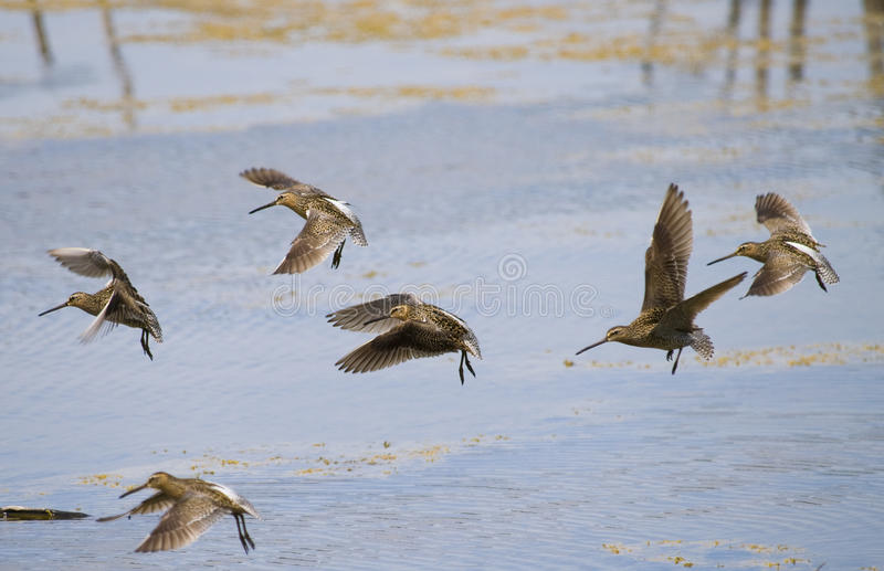 Download Common snipe bird group A stock image. Image of photograph - 9530055
