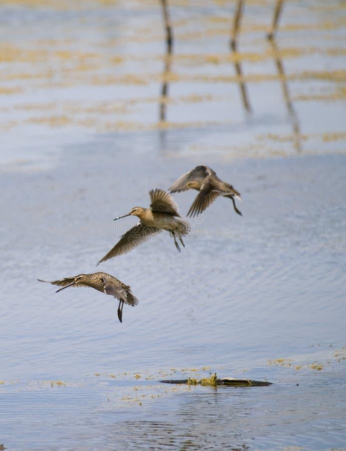 Free Common Snipe Bird Group C Stock Photography - 9529862