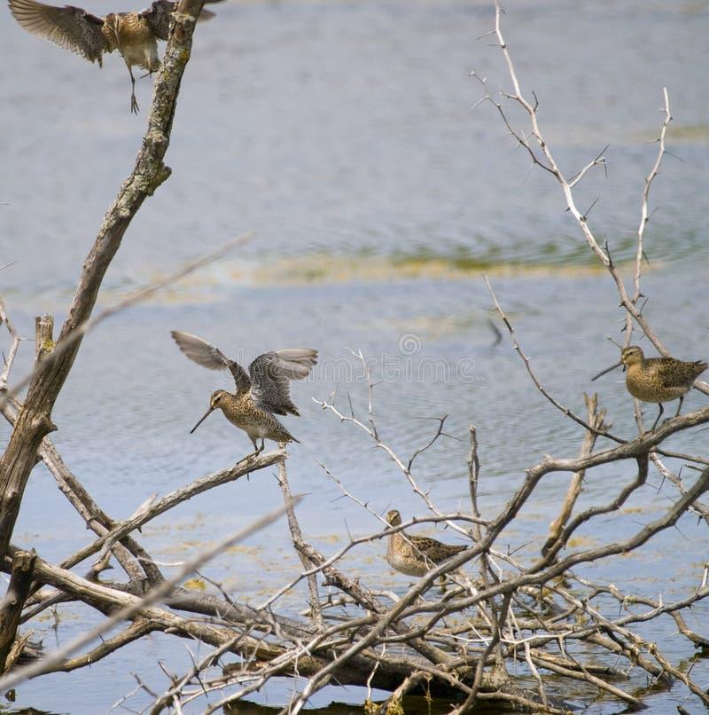 Free Common Snipe Bird Group D Stock Image - 9529881
