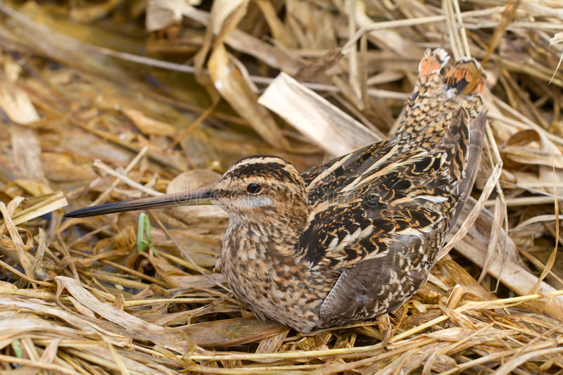 Download Common snipe stock photo. Image of national, birds, marsh - 32000740