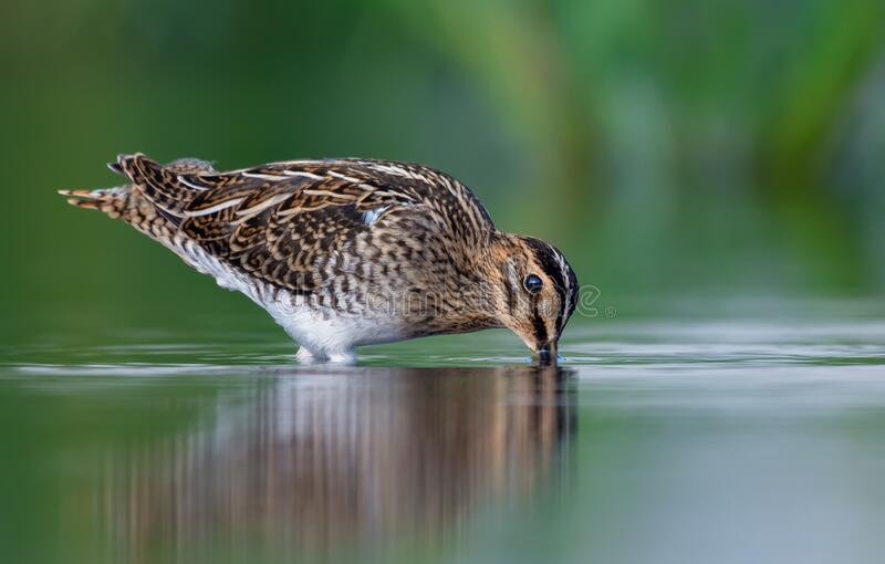 Common snipe probes shallow waters in search of food in summer. Common snipe examines shallow waters in search of food in summer stock photography