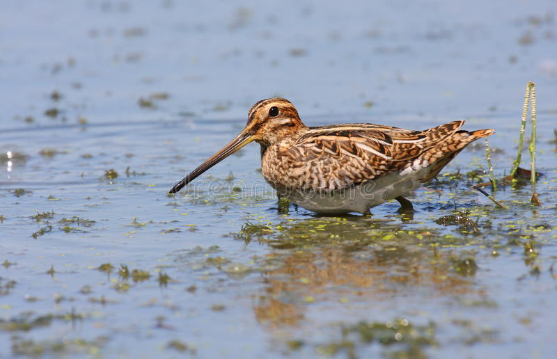 Download Common snipe in swamp stock photo. Image of migratory - 17737138